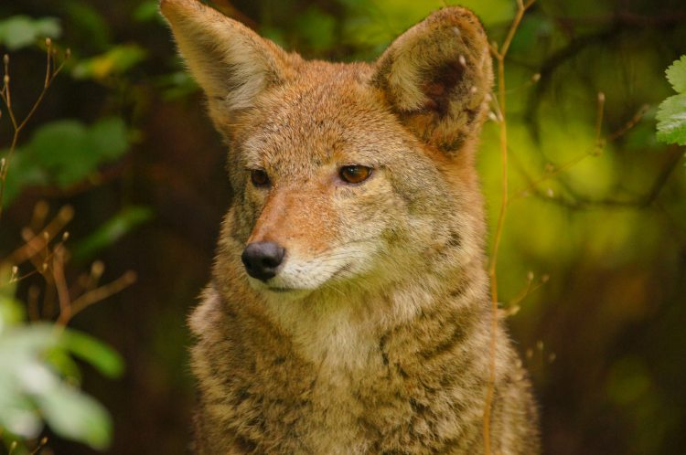 A portrait of a coyote.