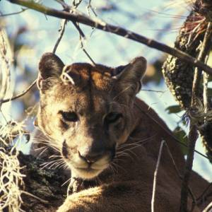 A Florida panther (Puma concolor) looking down.