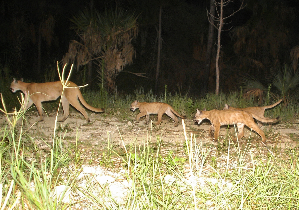 Florida Panther Numbers Still Low, but Growing