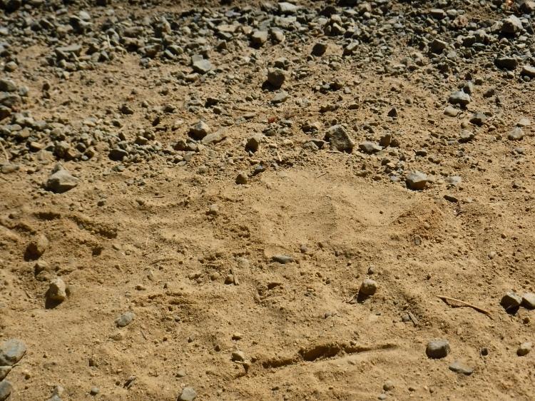 A black bear track on a dirt road.