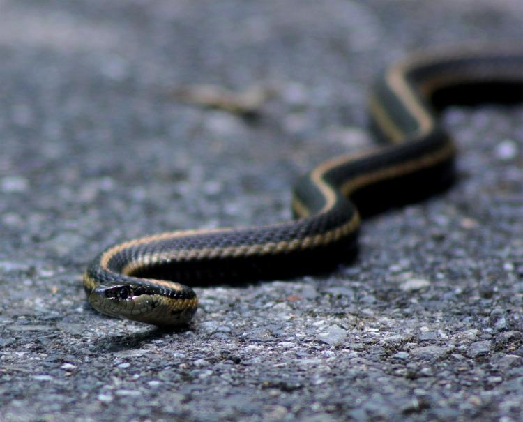 A garter snake basking on some pavement.