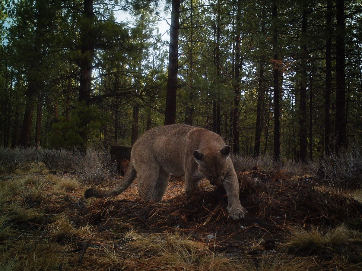 Cougars as Ecosystem Engineers: Great Interview