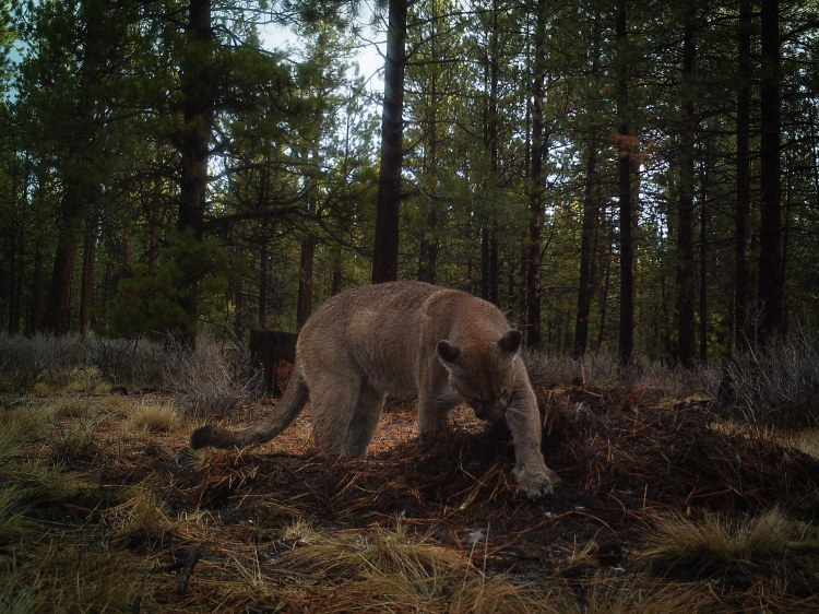 A mountain lion burying a kill so that it can return and feed later.