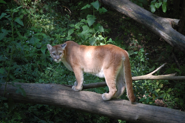 A mountain lion (Puma concolor) standing on a log.