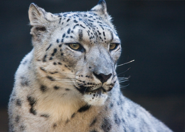 A portrait of a snow leopard.