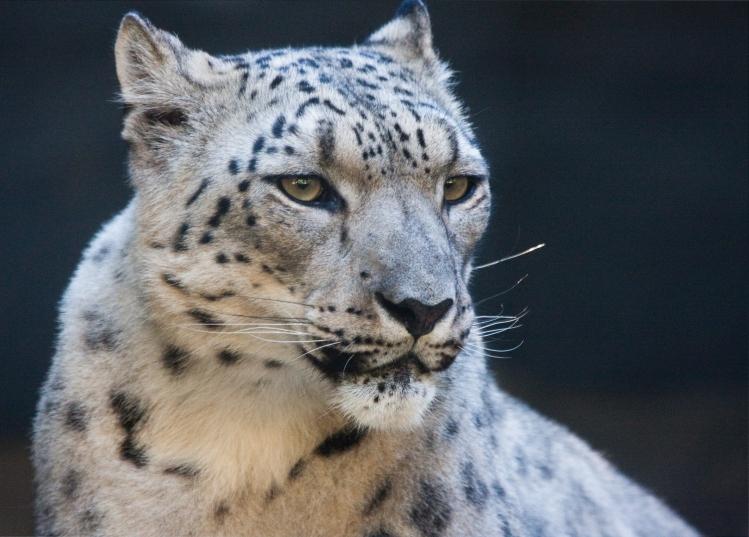 A portrait of a snow leopard.