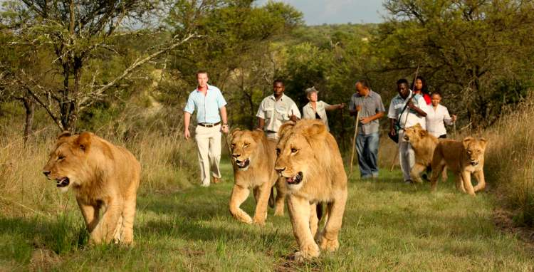 A group of tourists walking with captive lions.