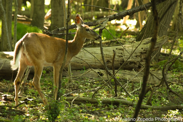 A white-tailed deer in the woods.