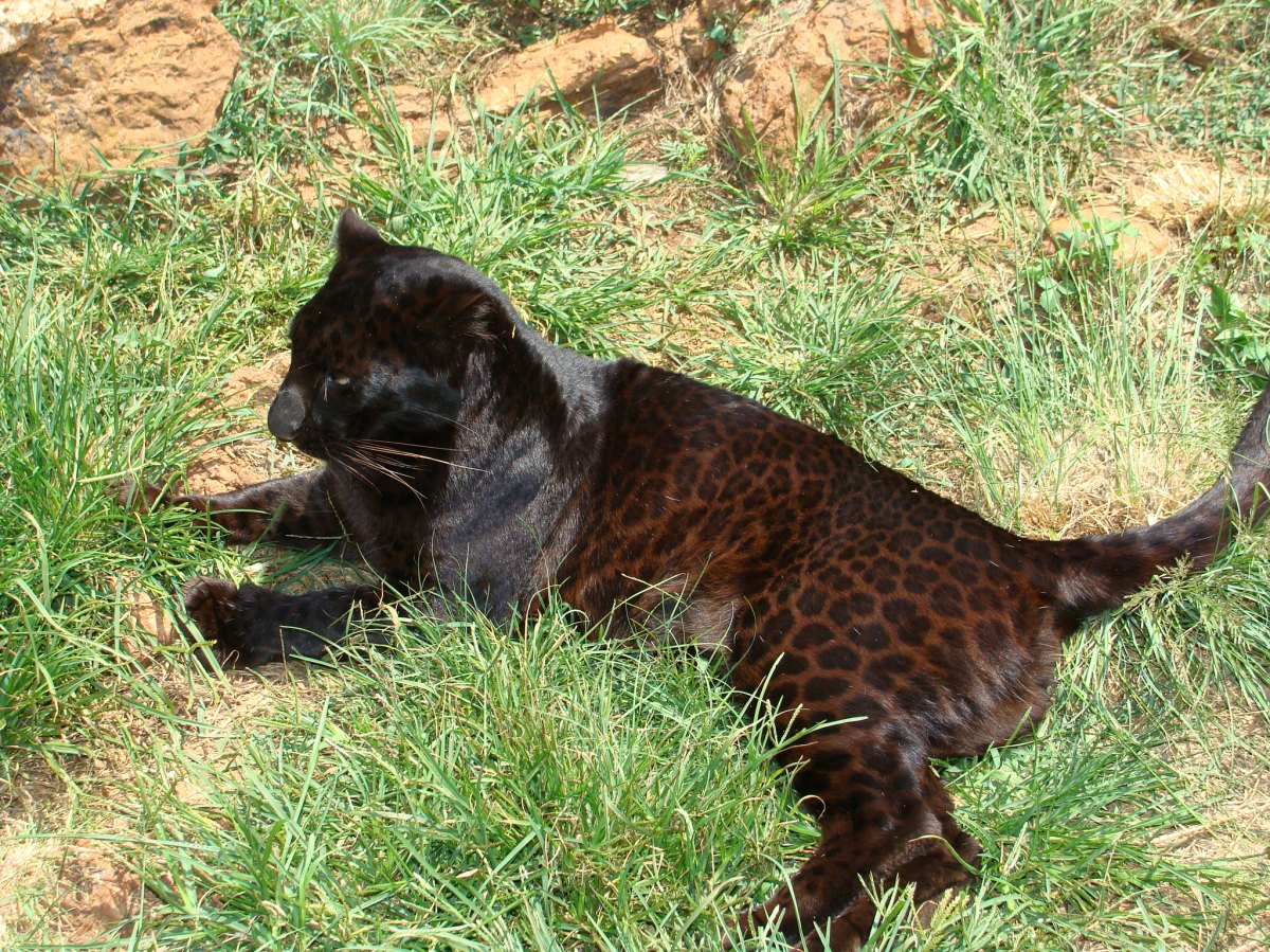 African Black Leopard Clearly Documented for the First ... - photo#27