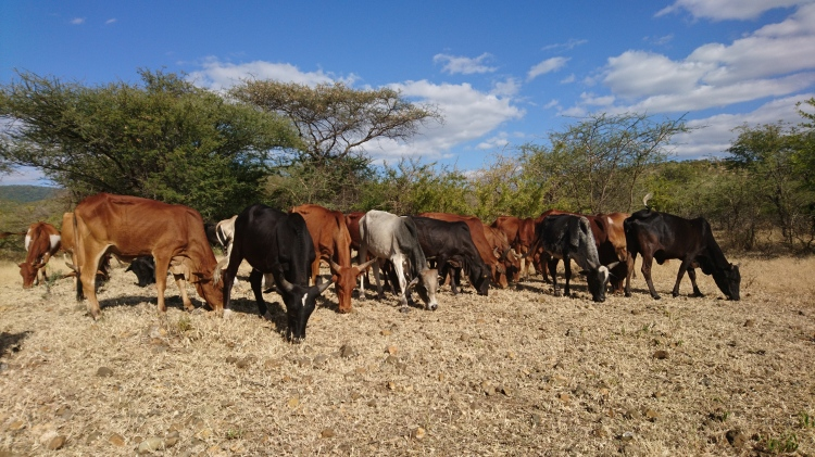 A herd of cattle in Tanzania.