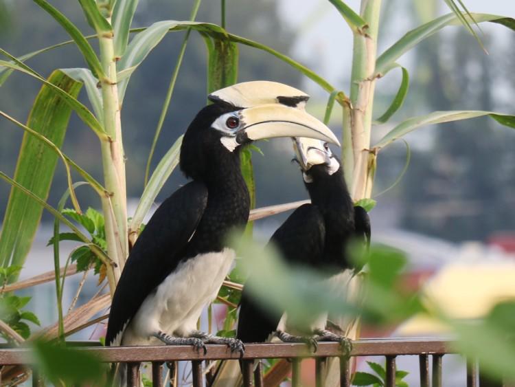 Two oriental pied hornbills.