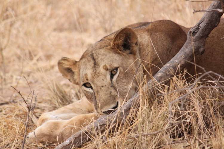 A lioness lying down.
