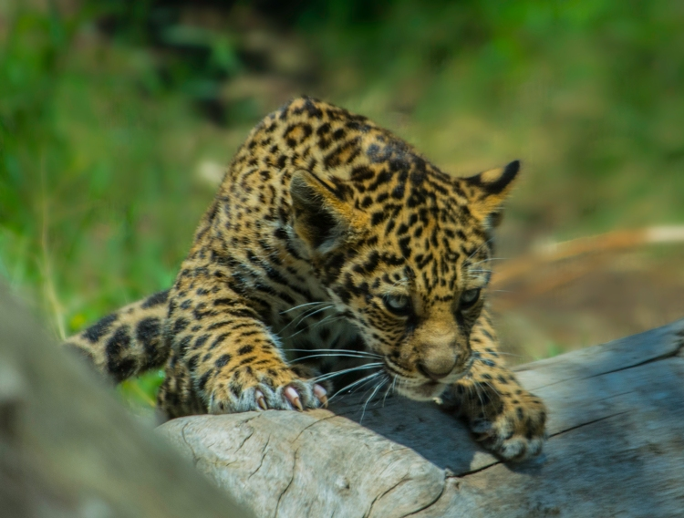 A jaguar cub climbing on a log.