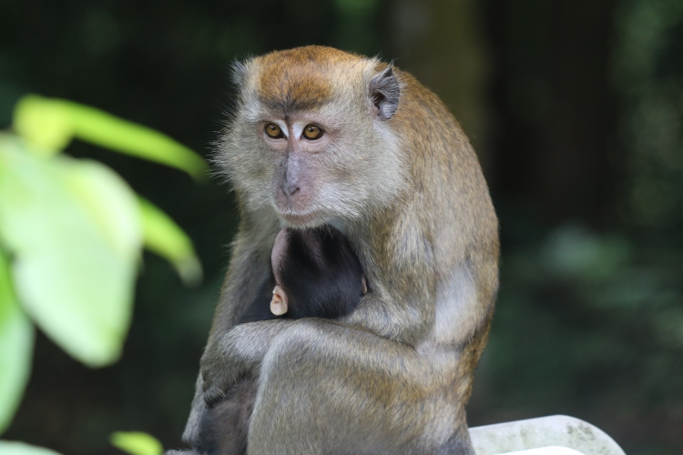 A mother long-tailed macaque holding her baby.