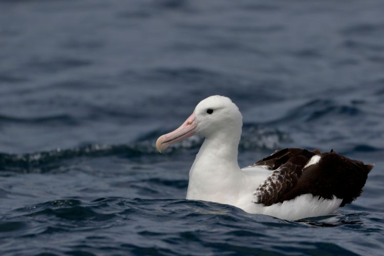 A northern royal albatross.