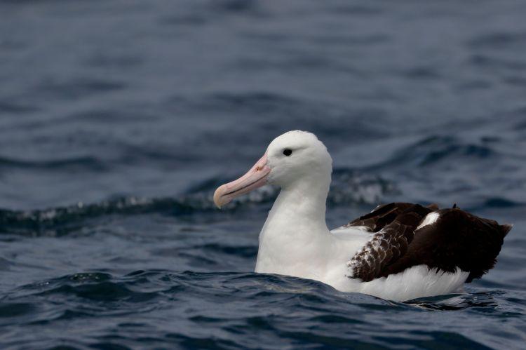 A northern royal albatross.