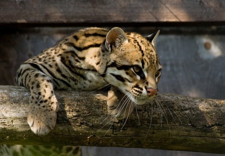 An ocelot on a branch.