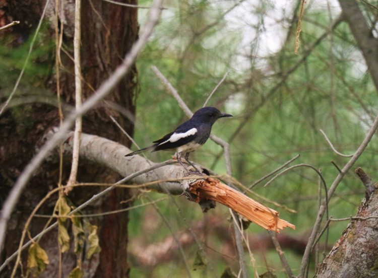 An oriental magpie robin on a branch.