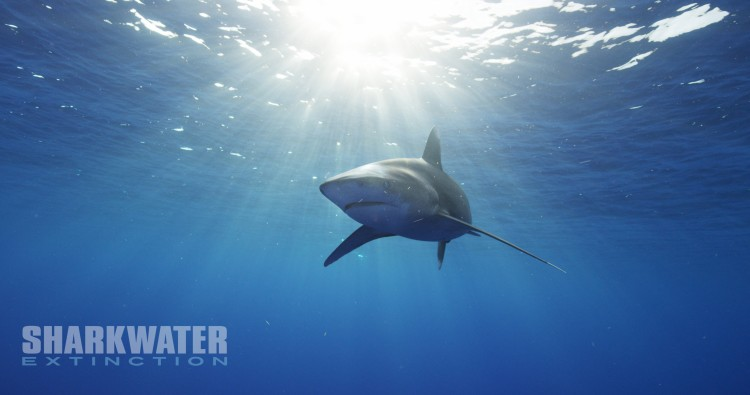 A white tip shark.