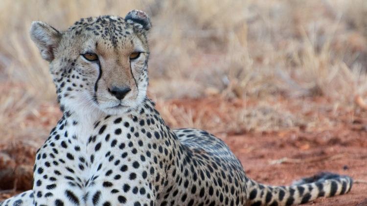 A cheetah lying down.