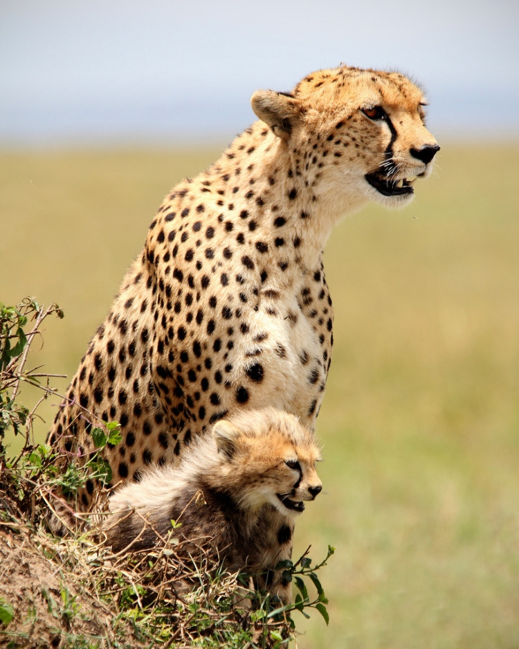 A mother cheetah with her cub.