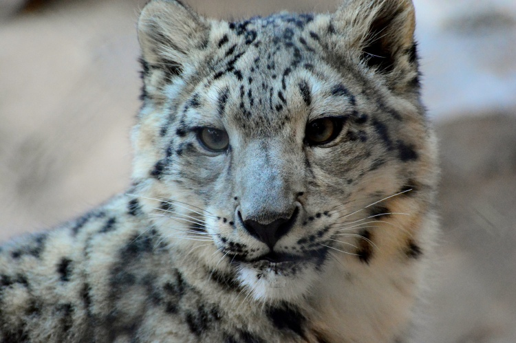 A snow leopard cub.