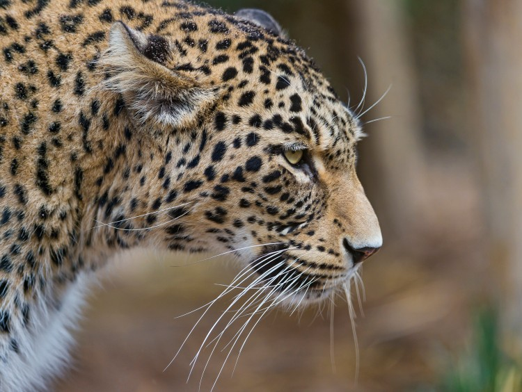 A Persian, or Caucasian, leopard.
