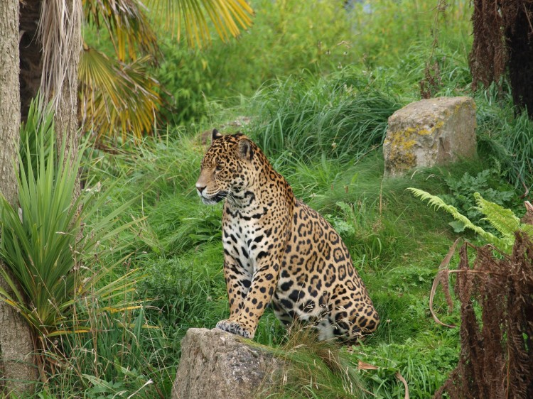 A jaguar sitting attentively in an exhibit at the Chester Zoo.