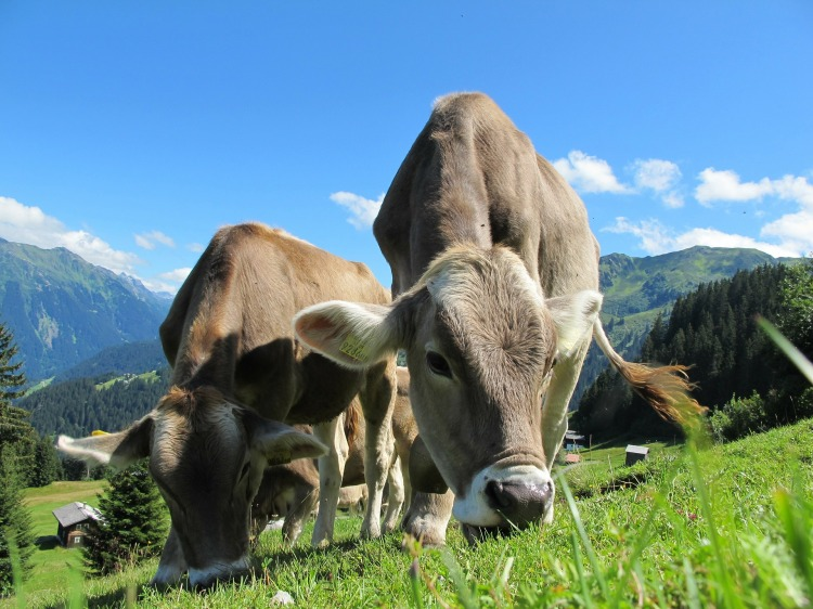 Two cows grazing in a mountain pasture.