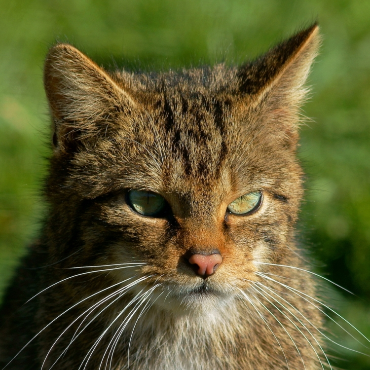 A Scottish wildcat.