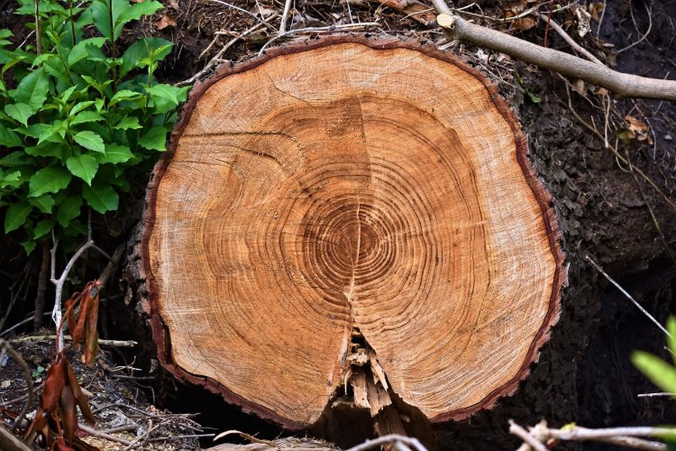 A chopped tree with distinctive rings.