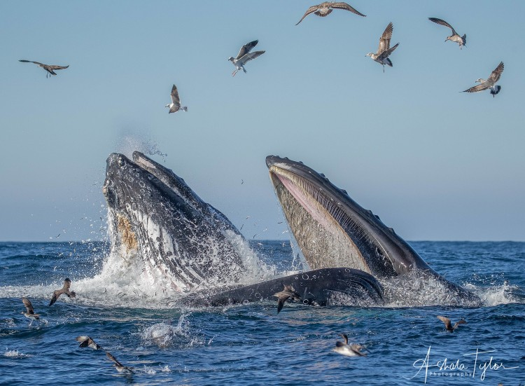 Humpback whales eating fish.
