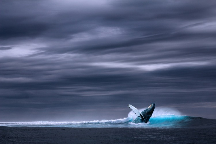 A breaching blue whale