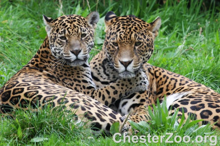 Two jaguars at the Chester Zoo.