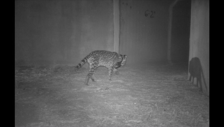 An ocelot using a wildlife underpass.