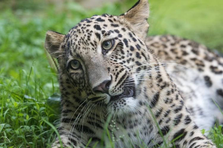A Persian leopard cub