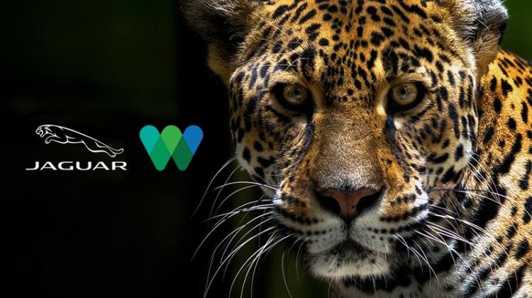 A wallpaper for International Jaguar Day 2020