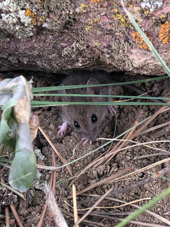 A field mouse.
