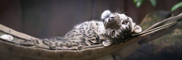 A snow leopard reclinging.