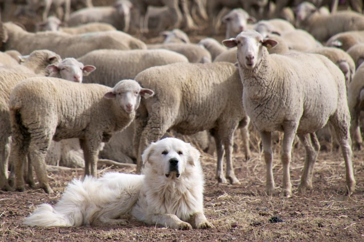A sheep dog guarding a flock of sheep.