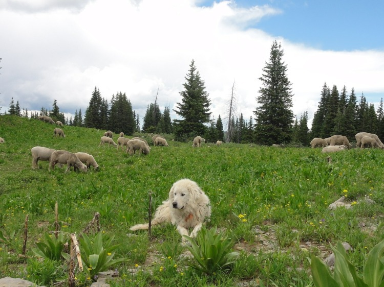 A sheep dog in front of a flock of sheep